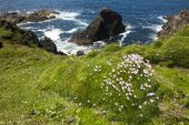 Sea Thrift (Armeria maritima) flowering — Stock Photo