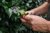 Man Pruning Bushes — Stock Photo