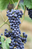 Wine grape Pinot noir — Stock Photo