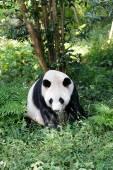 Panda bear in forest — ストック写真