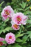Pink peony flower with rain drops — Fotografia Stock
