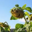 Sunflower with smily face — Stock Photo #62111799