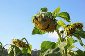 Sunflower with smily face — Stock Photo