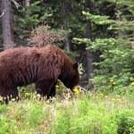 Brown bear eating dandelion, Alaska — Stock Photo #75925903
