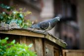 Pigeon in the City — Stock Photo