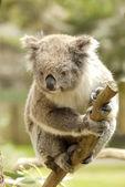 Portrait of a Koala Bear — Stock Photo