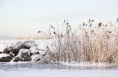 Reeds in winter — Stock Photo