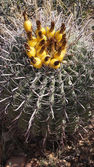 Wild cactus in the rocky stone desert — Foto de Stock