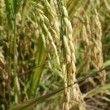 Ripe rice grains in Asia before harvest — Stock Photo #58168813