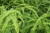 Shrubs fern — Stock Photo