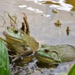 Bull Frogs At A Frog Farm — Stock Photo #77208431