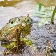 Bull Frogs At A Frog Farm — Stock Photo #77208459