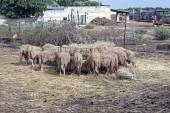 View of sheep in a farm — Stock Photo