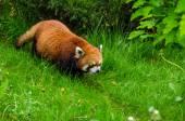 Cute Red Panda — Stock Photo
