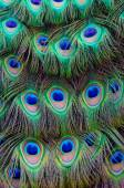 Peacock Tail Feather Background — Stock Photo