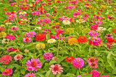 Zinnia elegans — Stock Photo