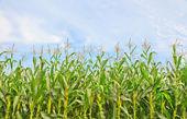 作物 — 图库照片