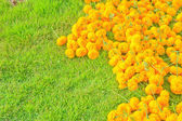 Marigold Flower — Stock Photo