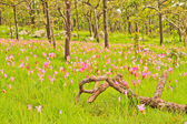 Siam tulip — Stock Photo