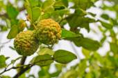 Kaffir Lime tree — Stock Photo