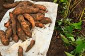 Sweet potato — Stock Photo