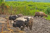 Cows at farm — Stock Photo