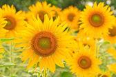 Sunflowe — Stock Photo