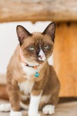 Portrait shorthair cat — Stock Photo
