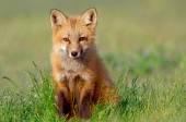 Curious Fox Kit — Stock Photo
