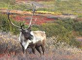 Male Caribou on Fall Tundra — Stock Photo