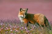 Young Red Fox — Stock Photo
