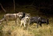 Curious Wolves Pack — Stock Photo