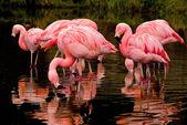 Chilean Flamingos Reflections — Stock Photo