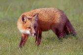 Fox Kit in Meadow — Stock Photo