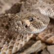 Western Diamondback Rattlesnake. — Stock Photo #58678743