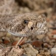 Western Diamondback Rattlesnake. — Stock Photo #58678749