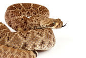 Western Diamondback Rattlesnake on white background. — Stock Photo