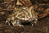 Argentine Horned Frog. — Stock Photo