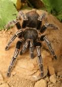 Skelett-Tarantula — Stockfoto