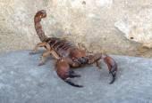 Shiny Burrowing Scorpion — Stock Photo