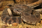 Southern Pacific Rattlesnake — Stock Photo