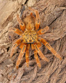 Usambara Orange Baboon Tarantula. — Stock Photo