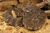 Southern Pacific Rattlesnake (Crotalus viridis helleri). — Stock Photo