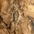 Ornamental Baboon Tarantula. — Stock Photo #66910407