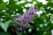 A lilac bush — Zdjęcie stockowe