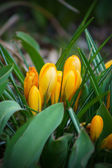 Yellow crocus — Foto de Stock