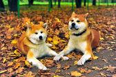 Dogs of the Akita Inu — 图库照片
