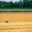 Stork, on freshly mown wheat field — Stock Photo #56975391