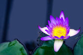 Colorful flower water lily on dark water with leaves — Stock Photo