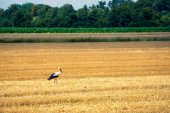 Stork, on freshly mown wheat field — Stock Photo